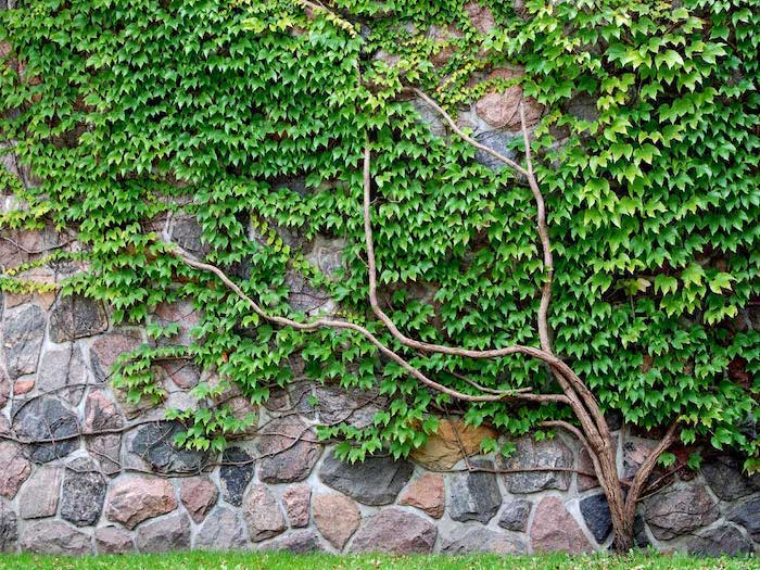 wall made of large stones, desert landscaping ideas, crawling ivy on the wall