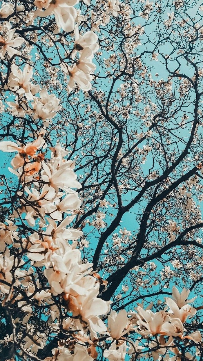 blue skies, spring background, phone wallpaper, blooming tree, with white blooms