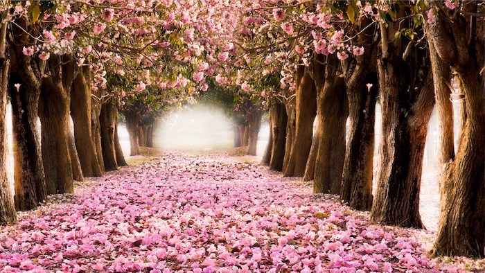 pink pathway, surrounded by blooming trees, forming a tunnel, spring desktop backgrounds