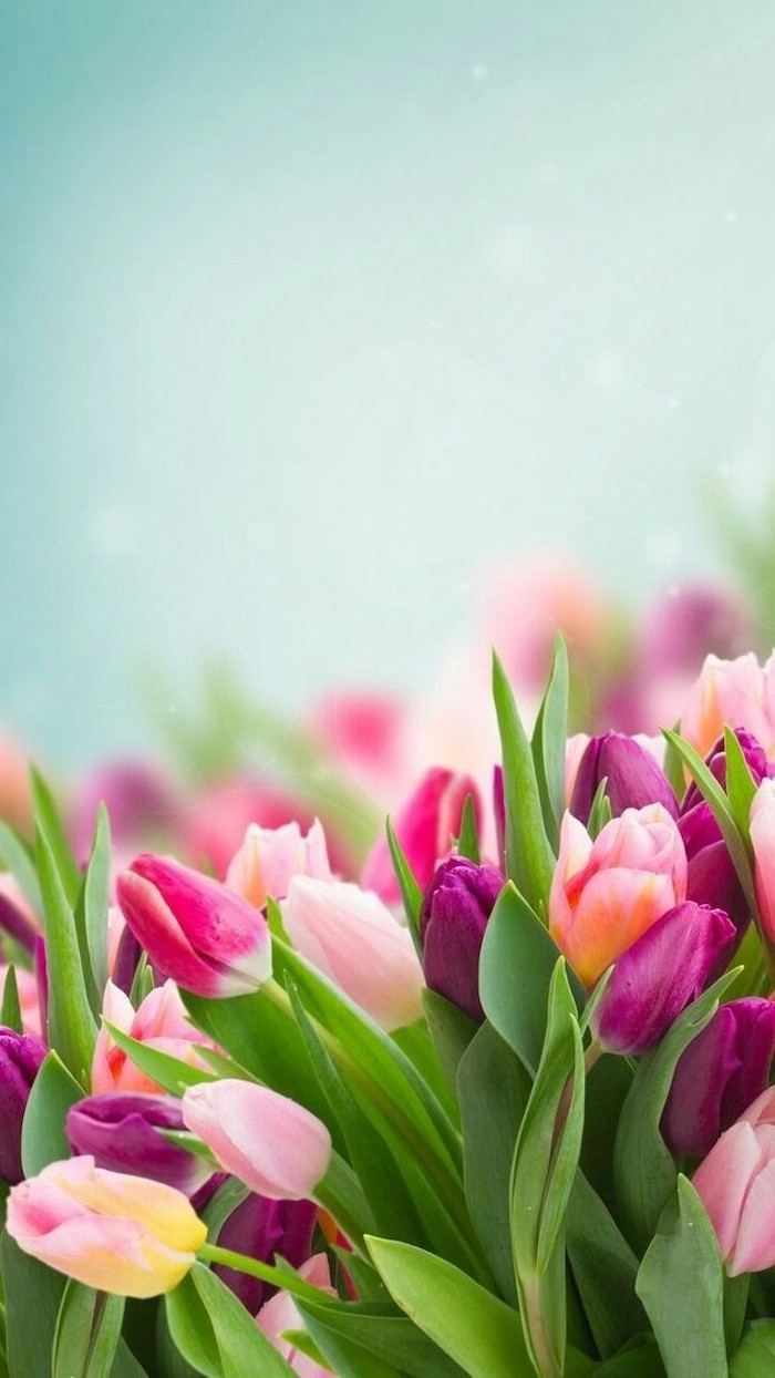 pink purple and yellow tulips, blurred background, phone wallpaper, happy spring images