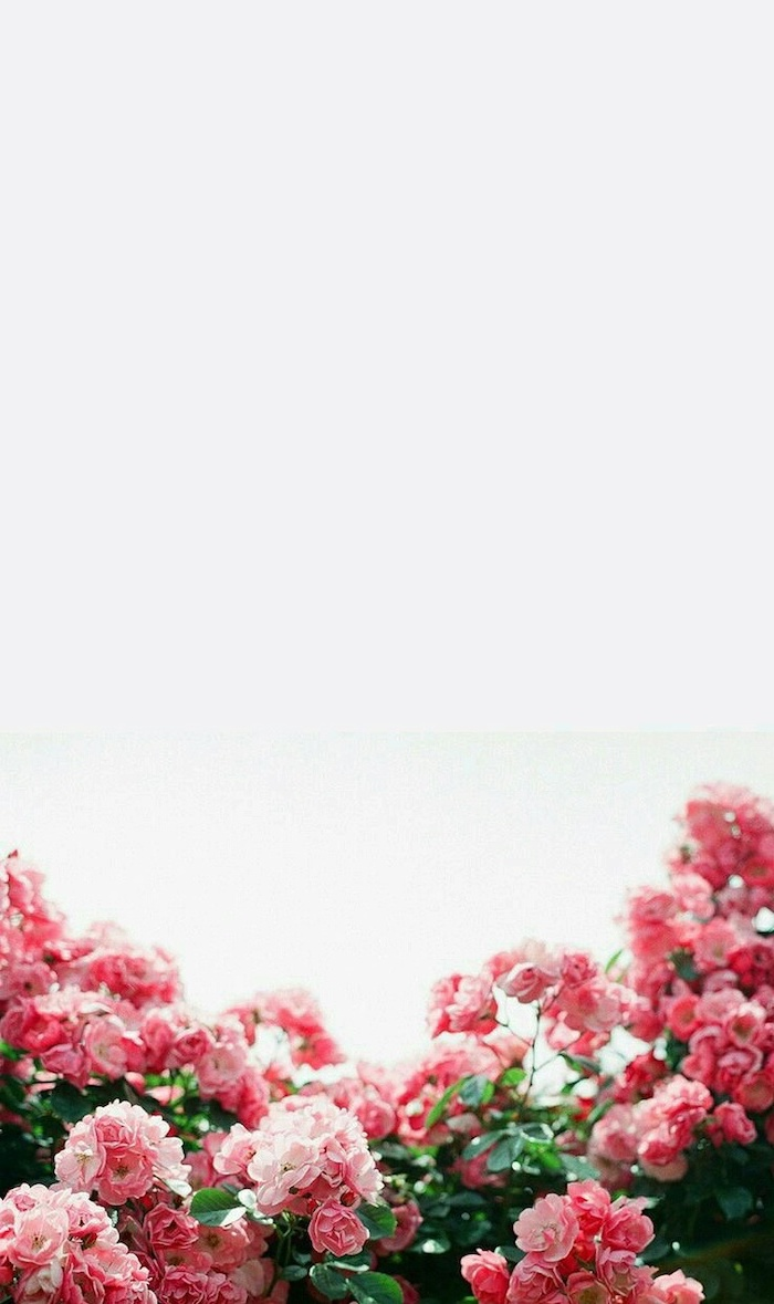 pink rose bushes, white background, spring wallpaper hd, floral phone wallpaper