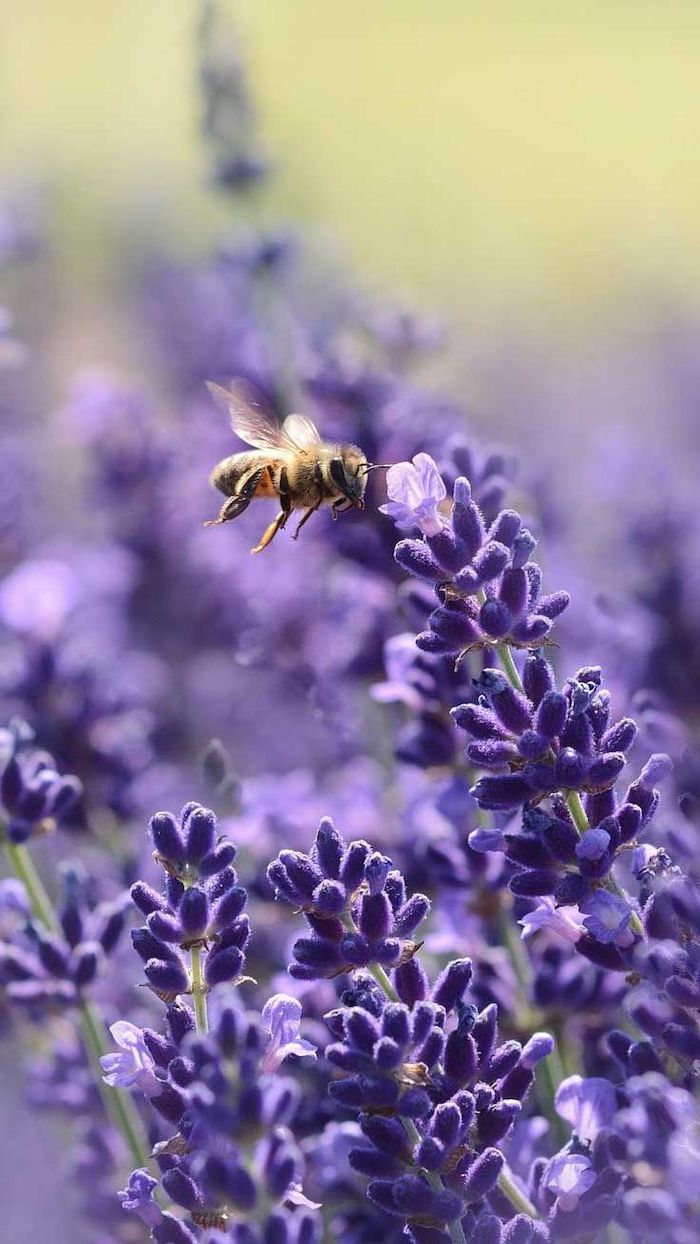 purple flowers, bee flying around the blooms, spring wallpaper hd, phone background