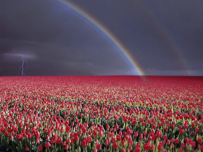 red tulips field, rainbows over it, lighting bolt in the sky, free spring wallpaper, desktop wallpaper