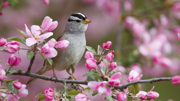 bird on a tree branch, blooming tree, spring pictures for desktop, pink blooms
