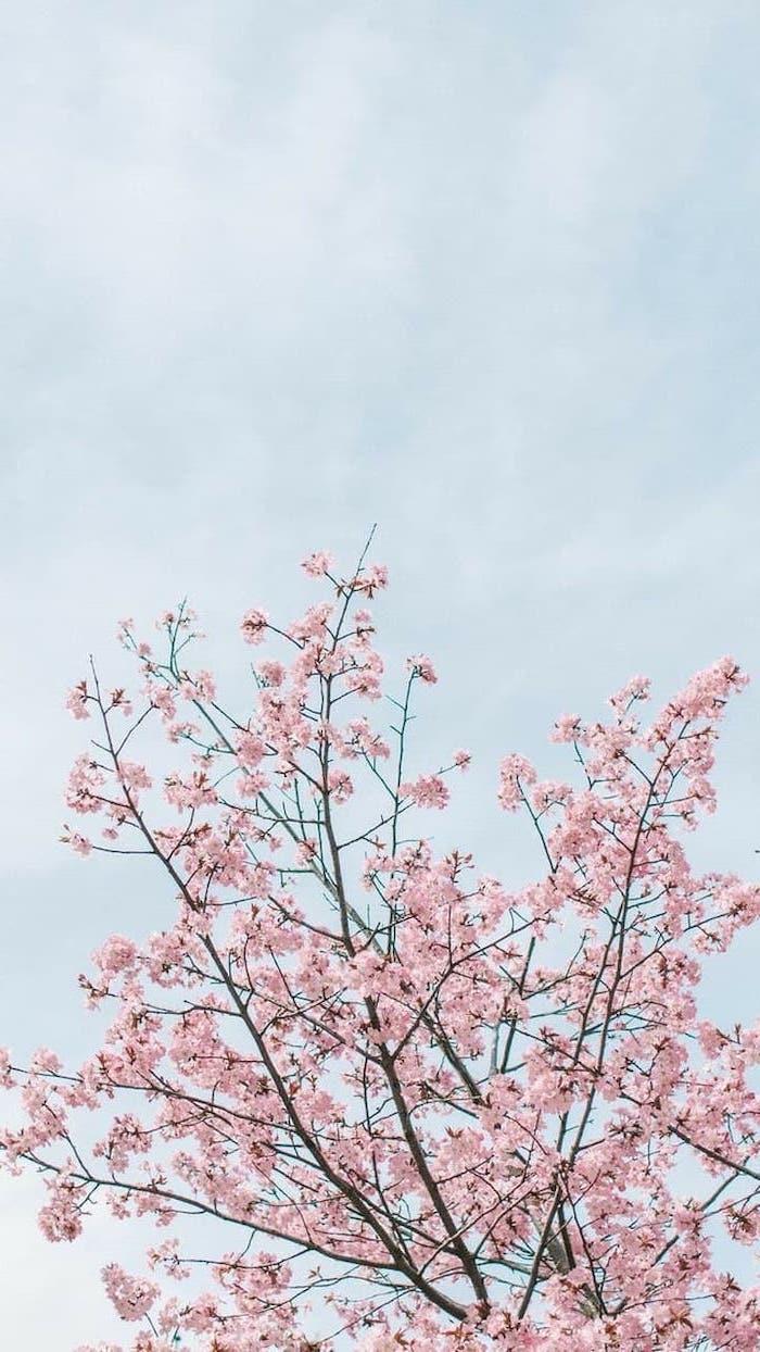 blue skies, blooming tree, pictures of spring, phone wallpaper, pink blooms