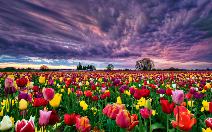 purple skies, spring desktop background, tulip field, filled with different colours of tulips
