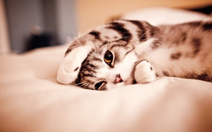 cat lying in bed, in grey and white, iphone 6 wallpaper tumblr, white bed linen