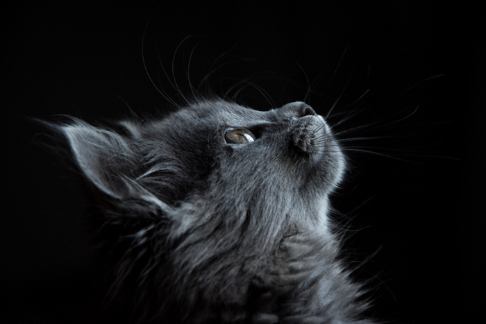 black background, grey cat, looking up, iphone 6 wallpaper tumblr