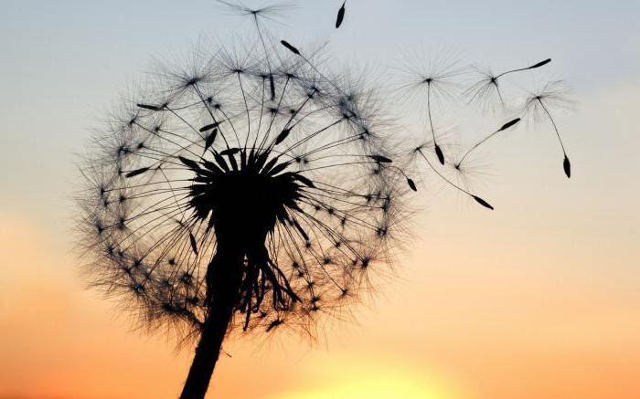 dandelion flower, seeds flying, cute desktop backgrounds, sunset sky