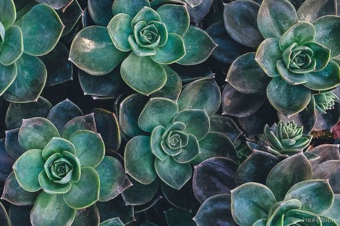 green succulents, arranged together, cool wallpapers