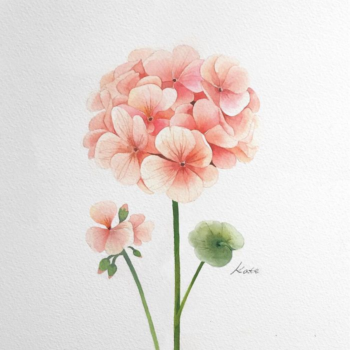 pink flower, on white background, rose drawing easy, watercolor painting