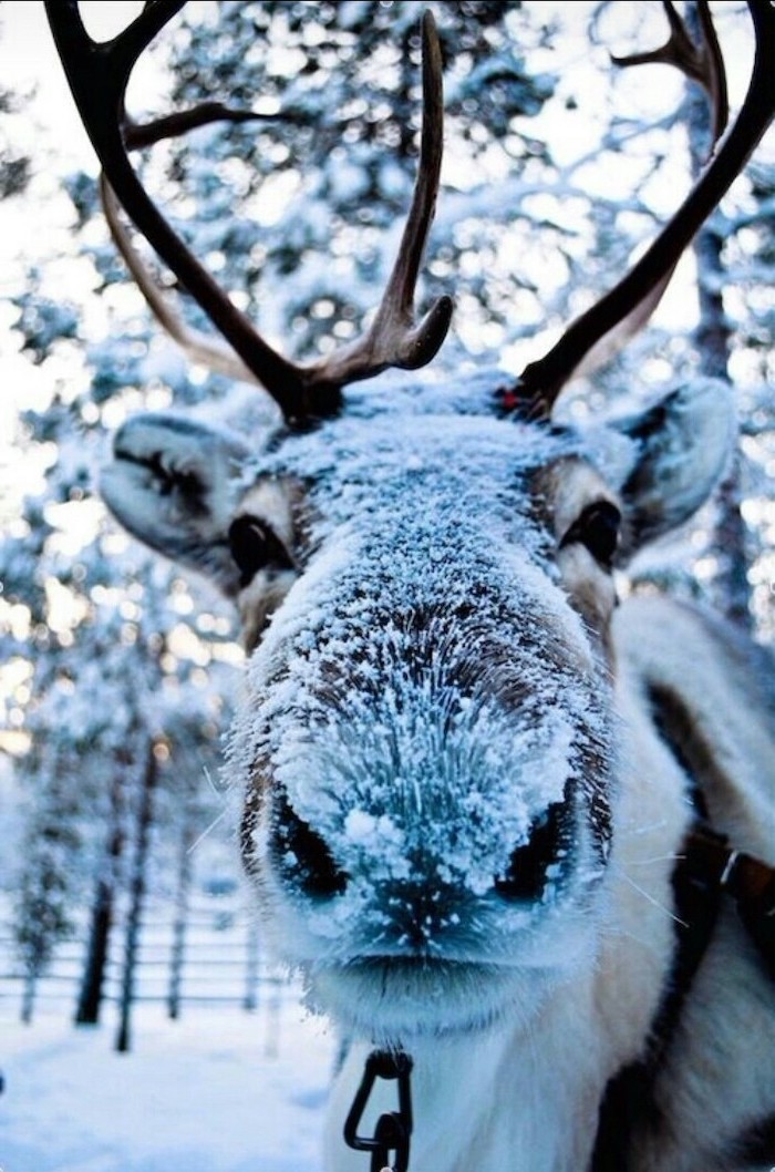 stag covered with snow, looking at the camera, free wallpapers and backgrounds, snow covered trees in the background