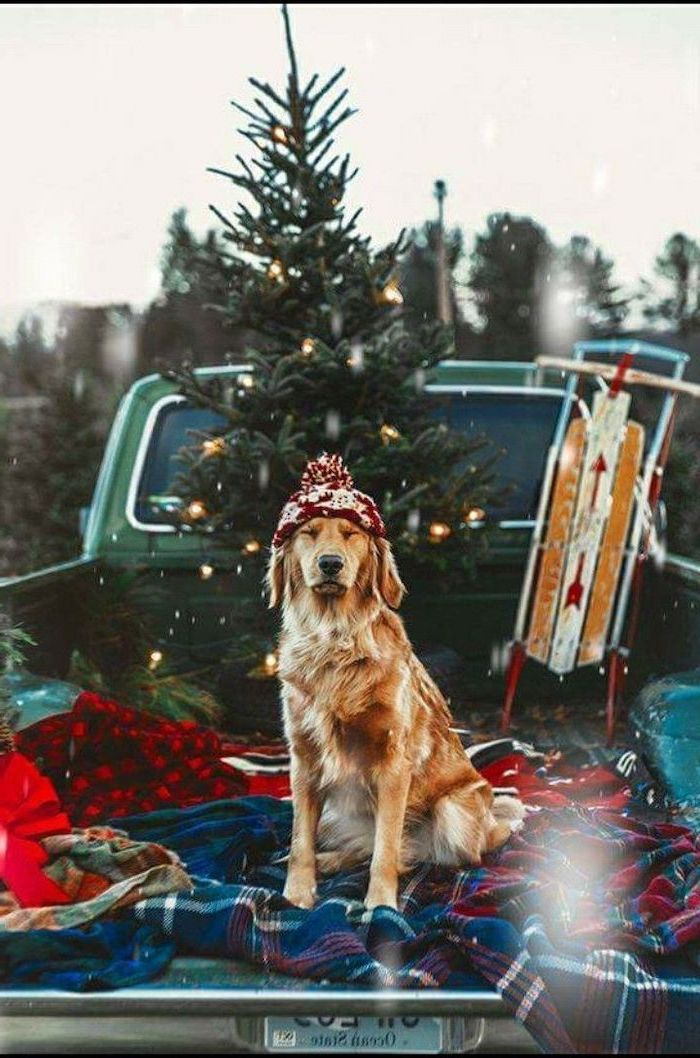 dog with a red beanie, standing on the back of a pickup truck, wallpapers and backgrounds, christmas tree in the background