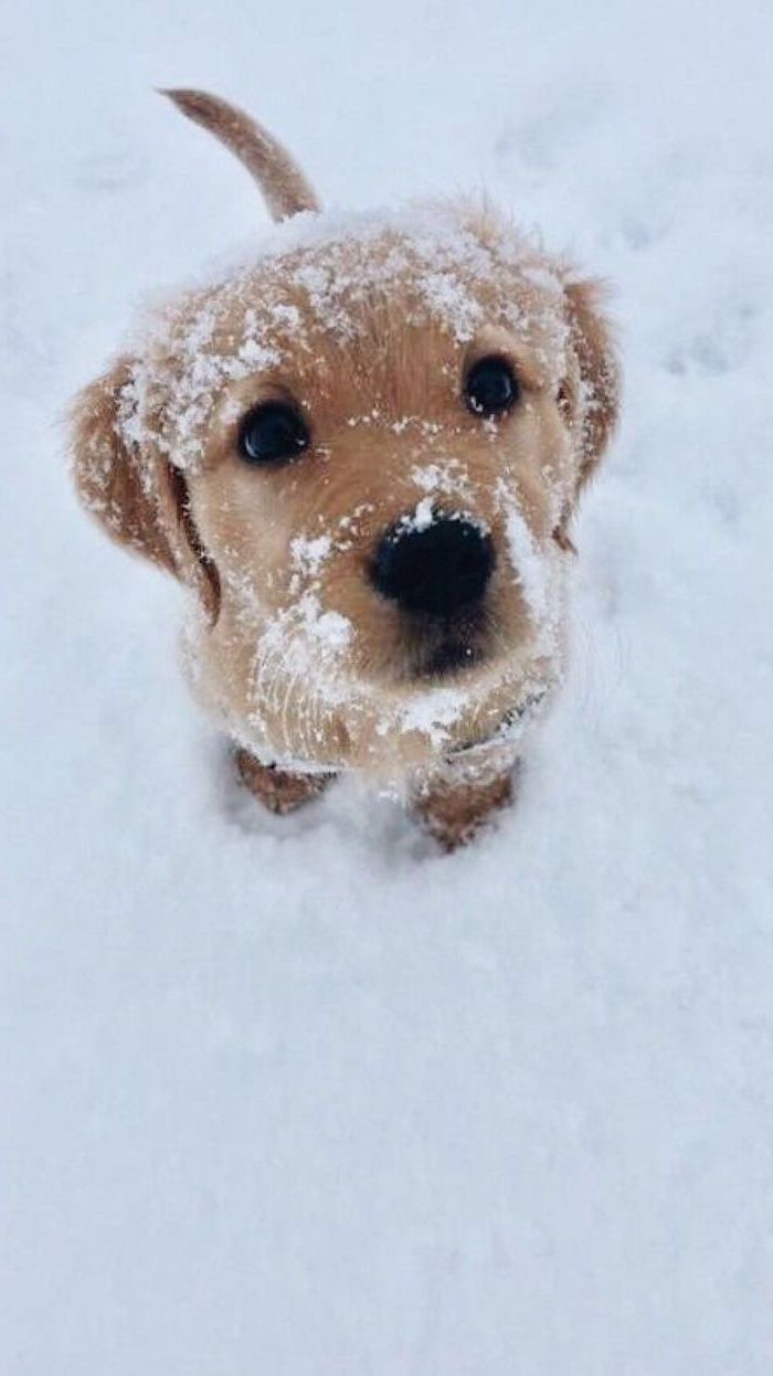 golden retriever puppy, looking at the camera, covered with snow, free wallpapers for android