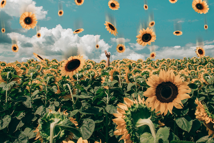 animated sunflowers falling from the sky, field of sunflowers, aesthetic backgrounds, blue sky with white clouds