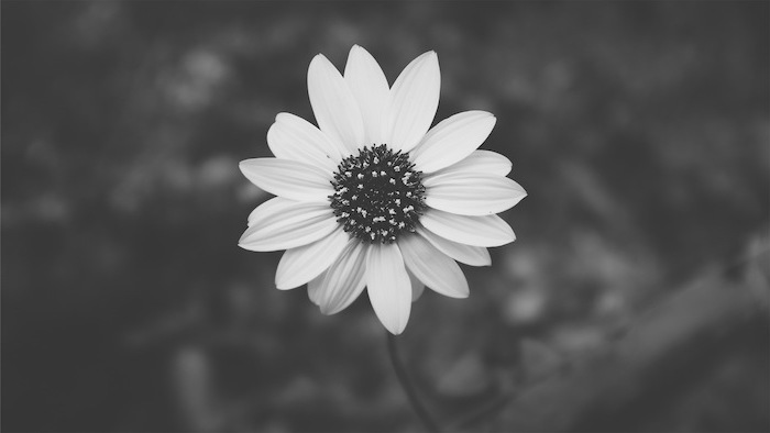 black and white photos, single flower in the middle of the photo, pink aesthetic wallpaper, dark blurred background