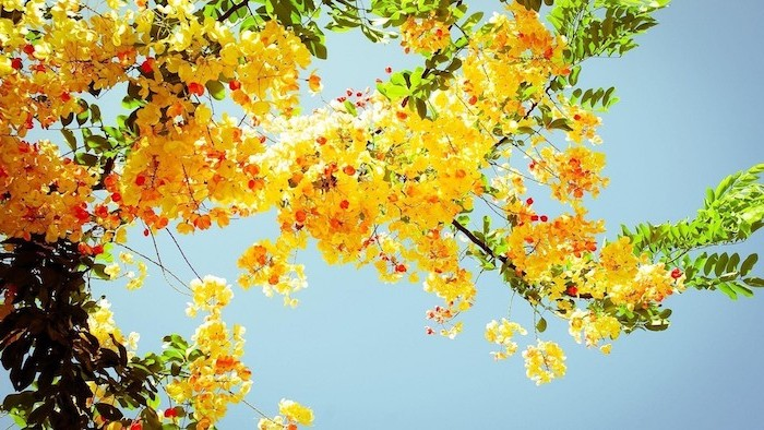 sun shining on tree with yellow blooms, vintage aesthetic wallpaper, clear blue sky in the background