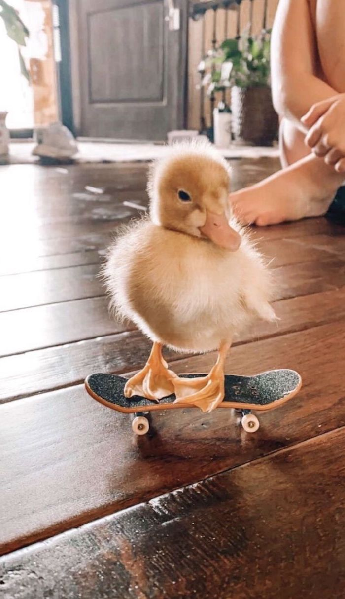 baby duck riding a mini skateboard cute pictures for wallpaper on wooden floor