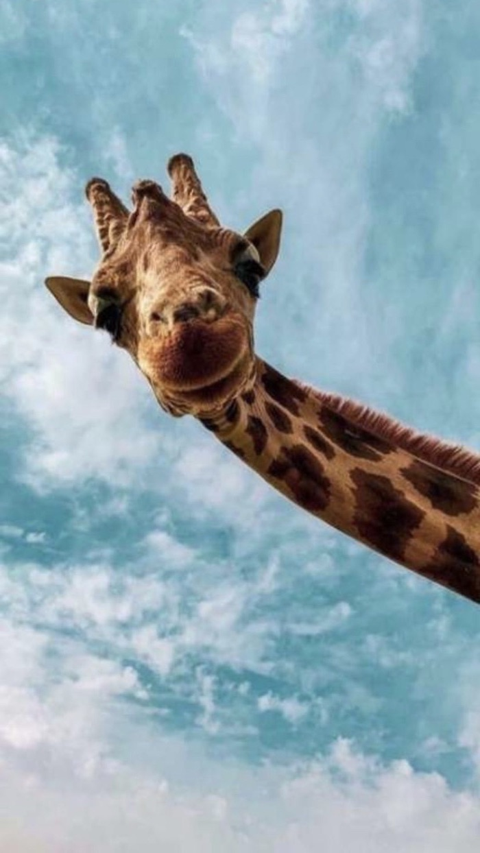 close up photo of a giraffe cute funny wallpapers blue sky background with clouds