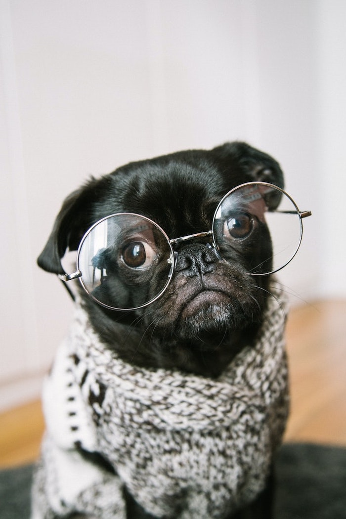 cute black pug wearing grey cardigan funny computer backgrounds reading glasses