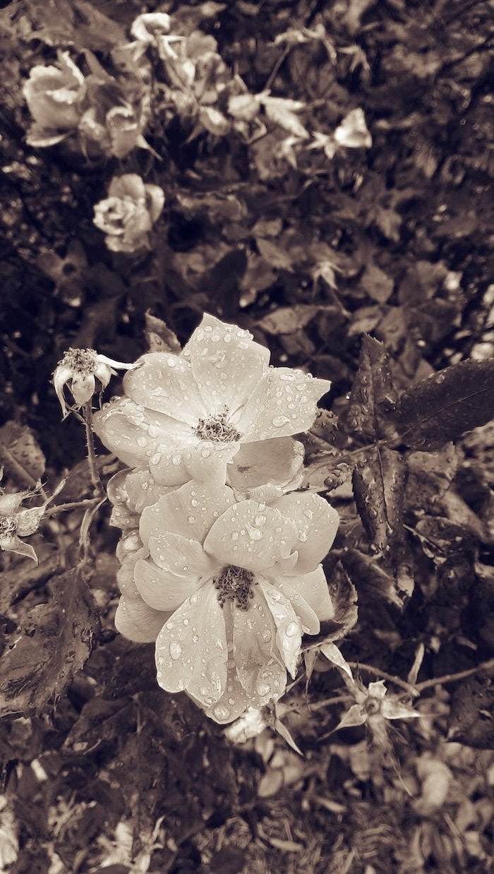 black and white photo cute flower wallpapers close up photo of white flowers covered with raindrops