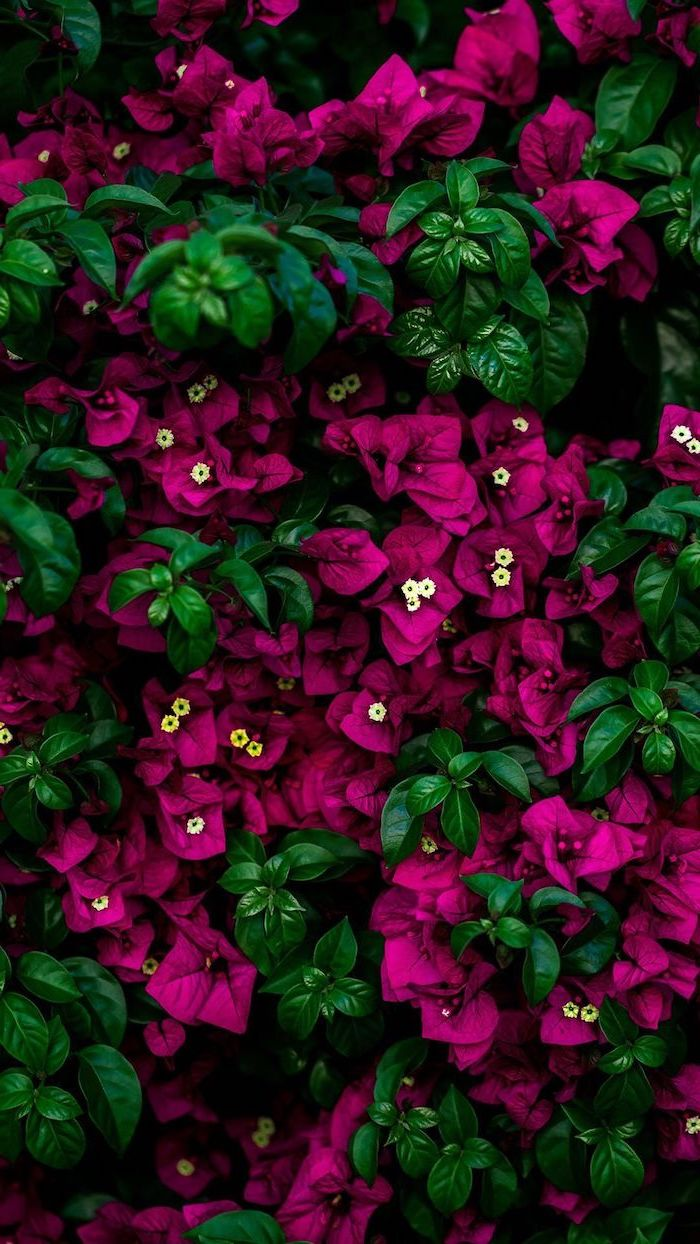 close up photo of lots of small purple flowers with green leaves cute flower wallpaper