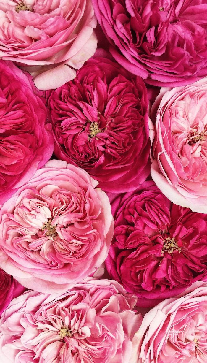 close up photo of peony flowers in different shades of pink floral background