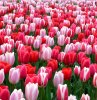 dutch tulips tulip field filled with tulips in different shades of pink light and darker