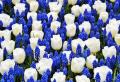 How to Plant Dutch Tulips and Create a Beautiful Flower Bed In Your Garden