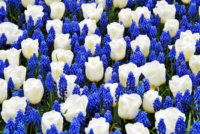 flower bed with white tulips and blue flowers in between them dutch tulips