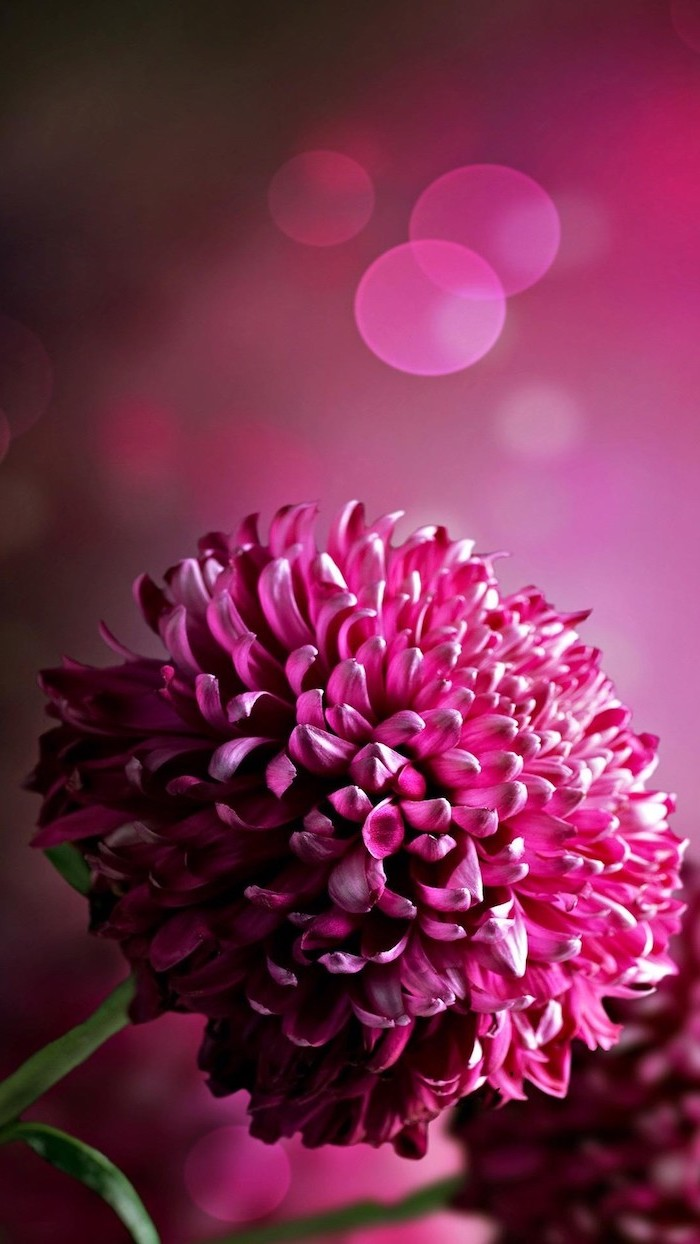 iphone flower background close up photo with purple flower purple blurred background