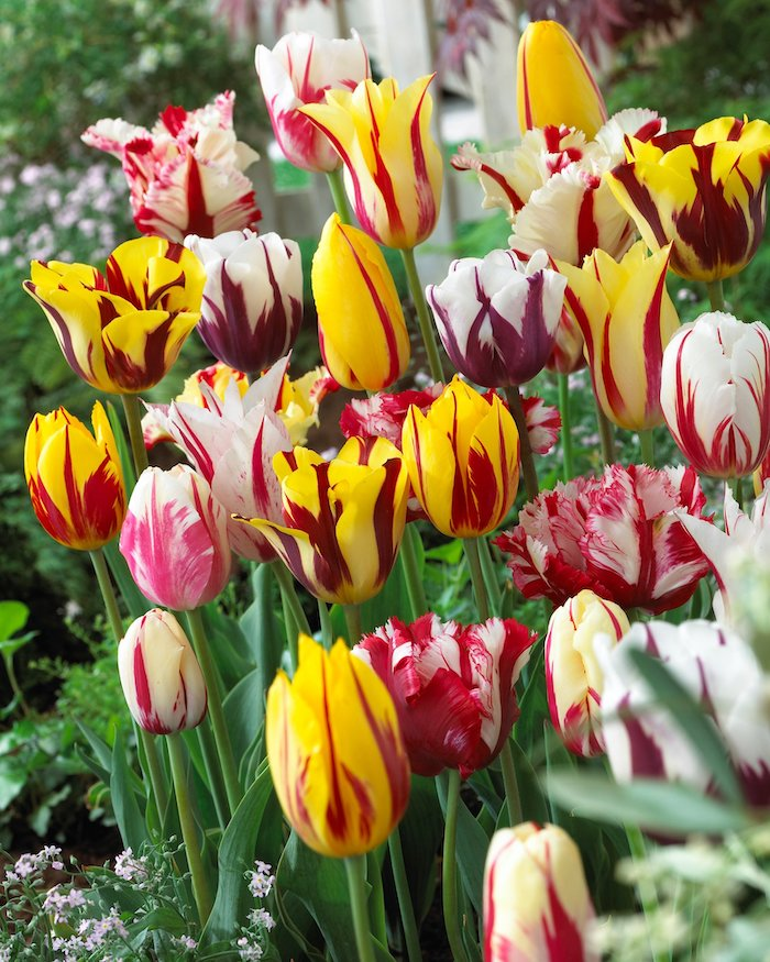 multicolored tulips dutch tulips flower bed with tulips in yellow red white purple pink