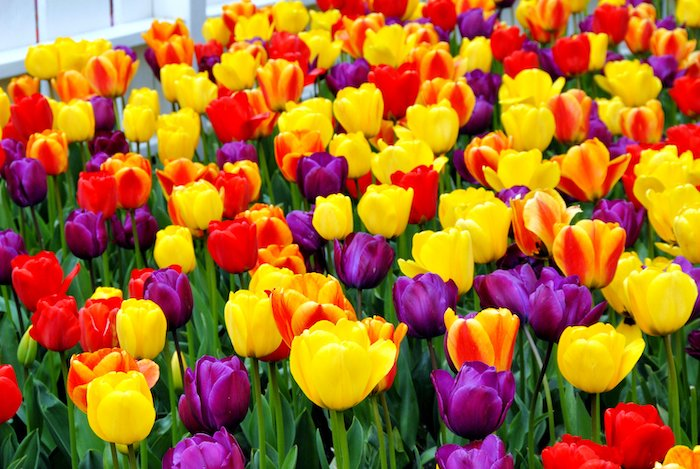 purple red orange yellow tulips dutch tulips tulip field with tulips in different colors