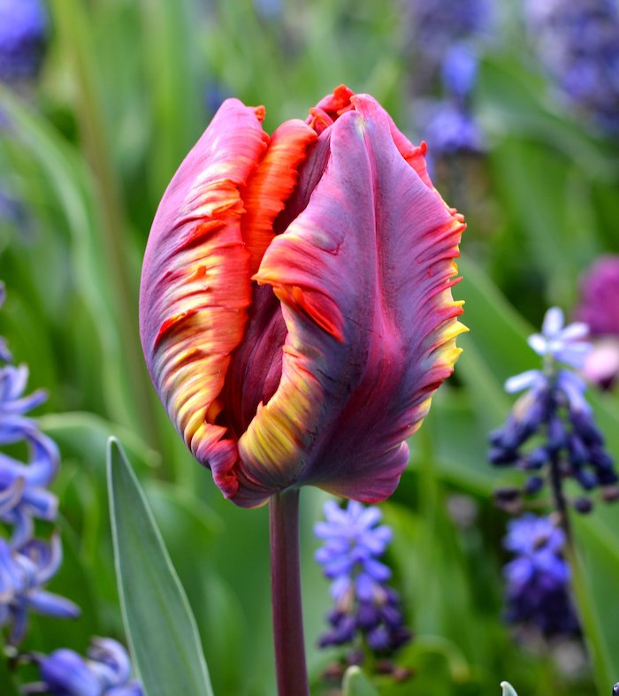 rainbow tulip in different colors purple orange yellow dutch tulips blue hyacinth around it