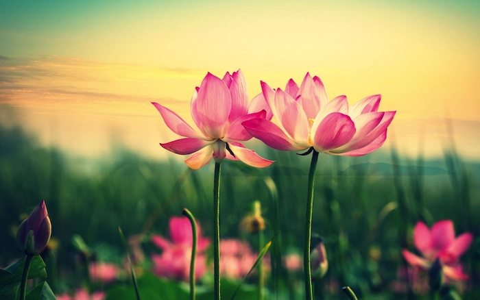 vintage flower background close up photo of two pink flowers in the middle of green field