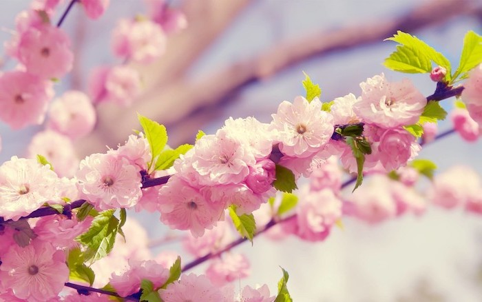 watercolor floral background close up photo of pink cherry blossoms with green leaves blurred background