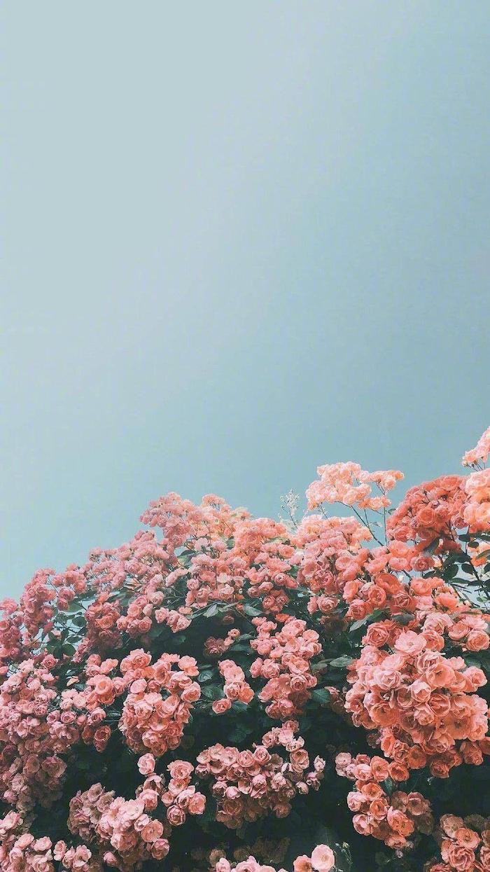 blue sky above a large rose bush vsco girl backgrounds flower bed with pink rose bushes