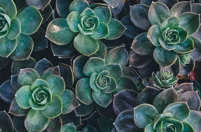 close up photo of a bunch of succulents photographed together cute wallpapers for computer dark green aesthetic