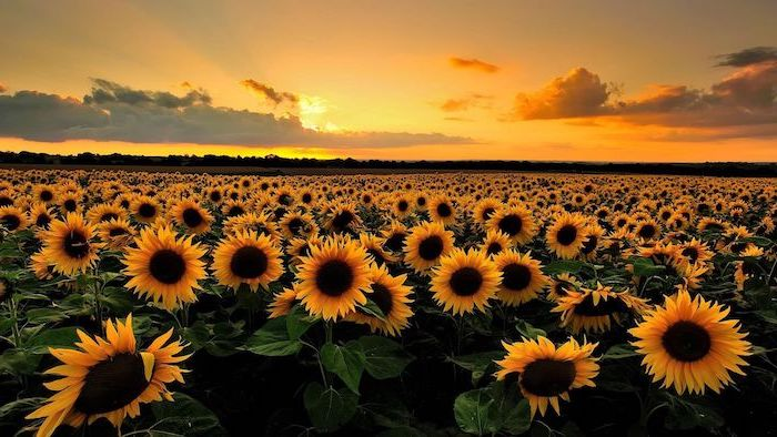 field of sunflowers at sunset cool computer backgrounds sky in orange and yellow with clouds