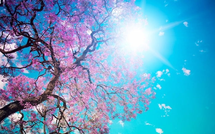 tree with pink blossoms photographed from underneath cute wallpapers for computer blue sky and sun shining above it