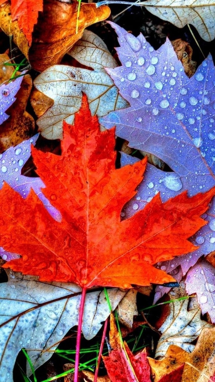 close up photo of bunch of leaves covered with rain drops fall wallpaper for android red purple orange leaves