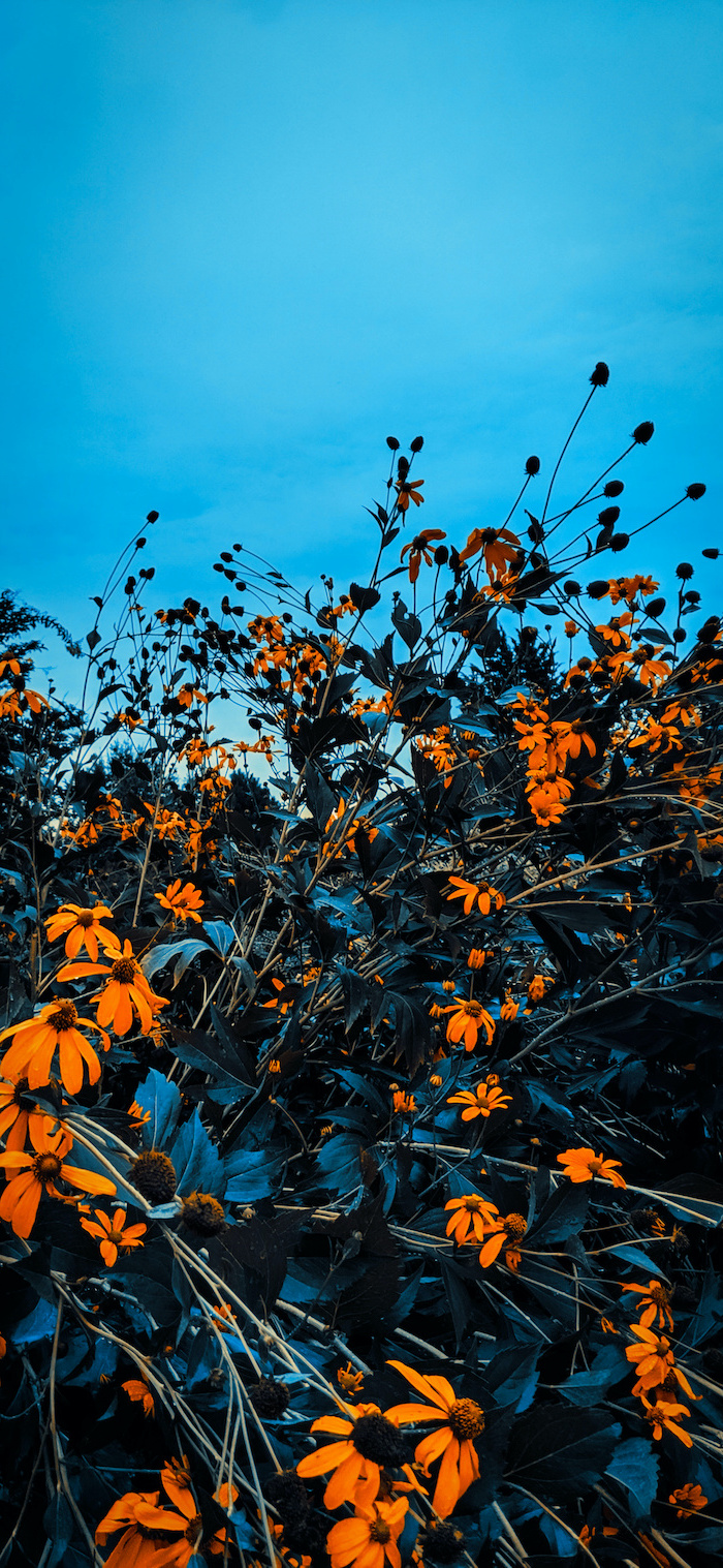 close up photo of bush with orange flowers fall wallpaper for android blue sky in the background