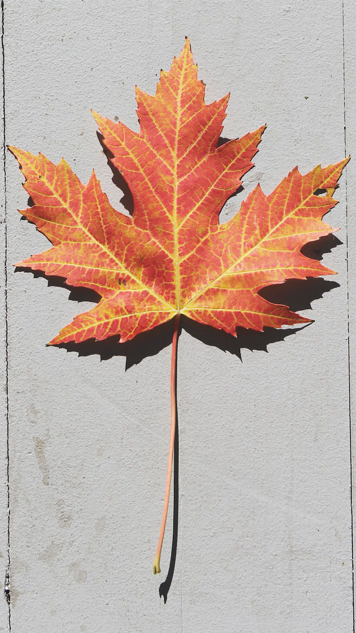 close up photo of single maple leaf in orange and yellow fall wallpaper for android photographed on white background