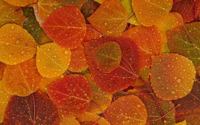 close up photo of small leaves in orange red yellow green covered with rain drops cute fall wallpaper