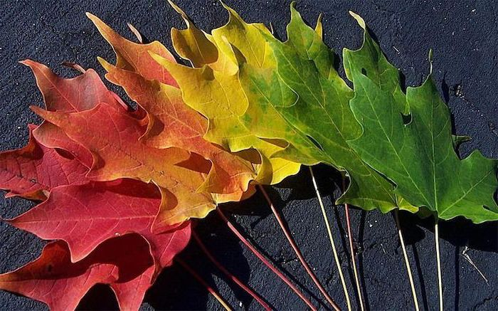 leaves arranged in color order on black background autumn wallpaper green to yellow to orange and red