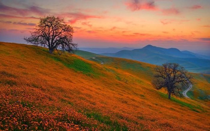 mountain landscape field covered with orange flowers autumn wallpaper two trees with no leaves mountain range in the background