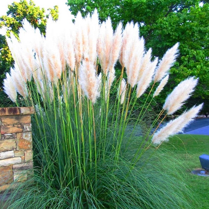 pampas grass in vase white pampass grass bush planted in front yard trees in the background