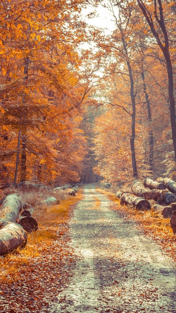 small pathway surrounded by large wooden logs aesthetic fall wallpaper tall trees with orange leaves
