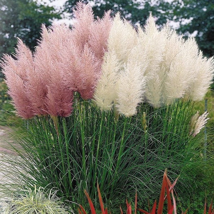 white pink pampas grass bush planted in the ground tall trees in the background pampas grass in vase