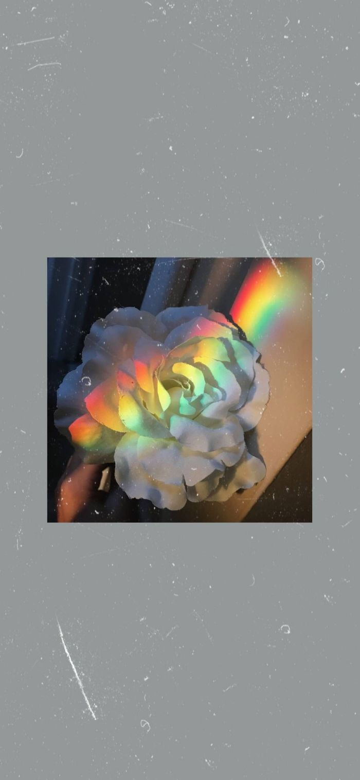 dark gray background rainbow color wallpaper photo of a white rose in the middle rainbow going through it